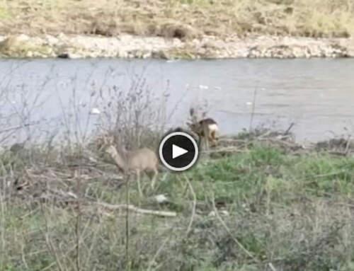 Caprioli nel Bisagno! 🦌😍 [VIDEO]